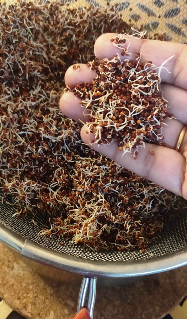 How To Sprout Ragi